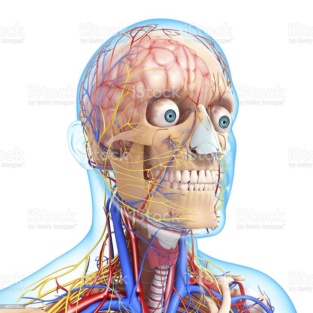 Vista Lateral De Cabeza Sistema Circulatorio Y Nervioso - Fotografía ...