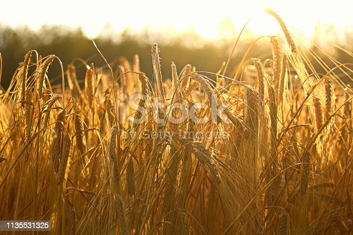 Side view of heavy barley heads bending highlighted by a sunset.
