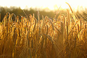 istock Side view of heavy barley heads bending highlighted by a sunset 1135531325