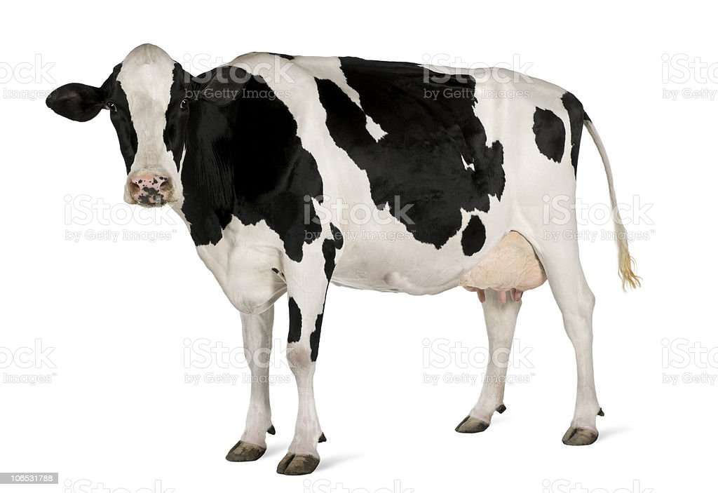 Side view of Holstein cow, 5 years old, standing. stock photo