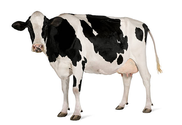 side view of holstein cow, 5 years old, standing. - cow stock photos and pictures