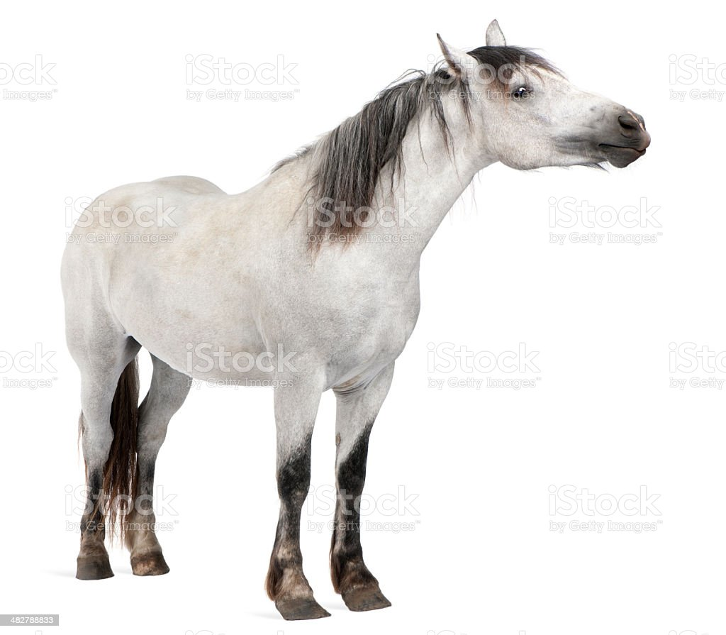 Side view of Horse, 2 years old, standing. royalty-free stock photo