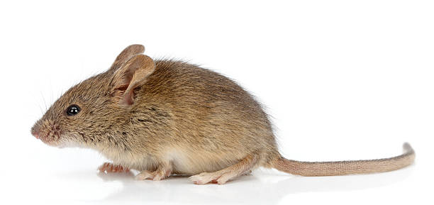 Side view of house mouse (Mus musculus) stock photo