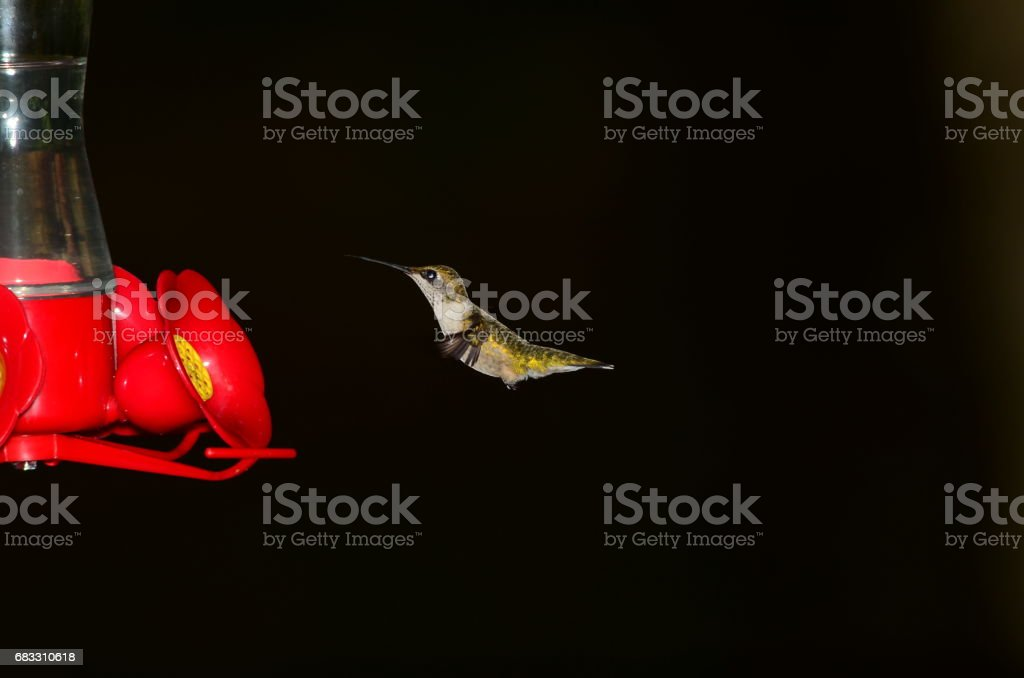 Side view of Hovering Hummingbird at feeder royalty free stockfoto