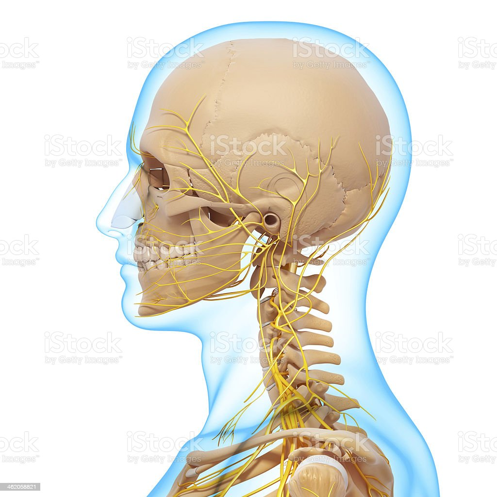 side view of human skeletal nervous system stock photo