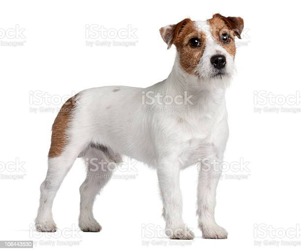 Side view of jack russell terrier standing picture id106443530?b=1&k=6&m=106443530&s=612x612&h=zzdmrpsxga8pqexhiq6a8ooanctlr qzegjtavswlb0=