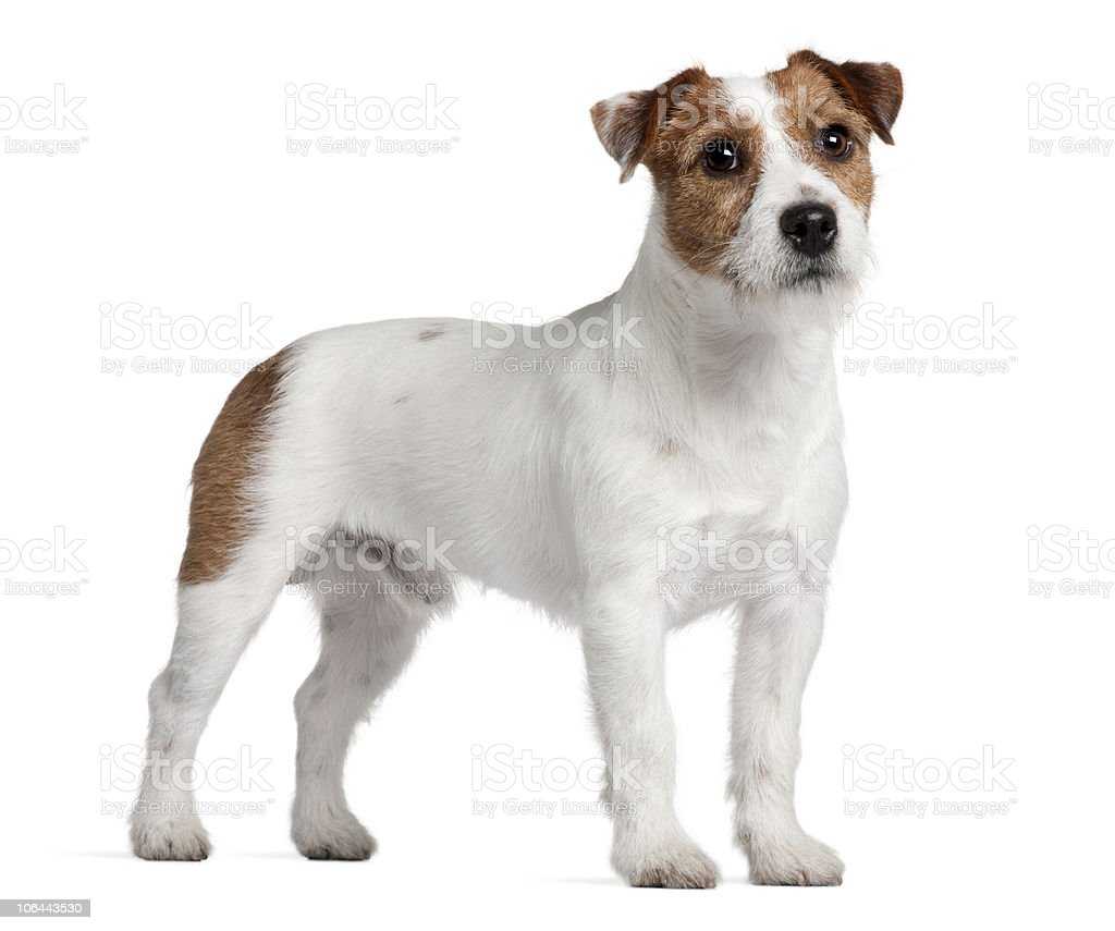 Side view of Jack Russell Terrier, standing. stock photo