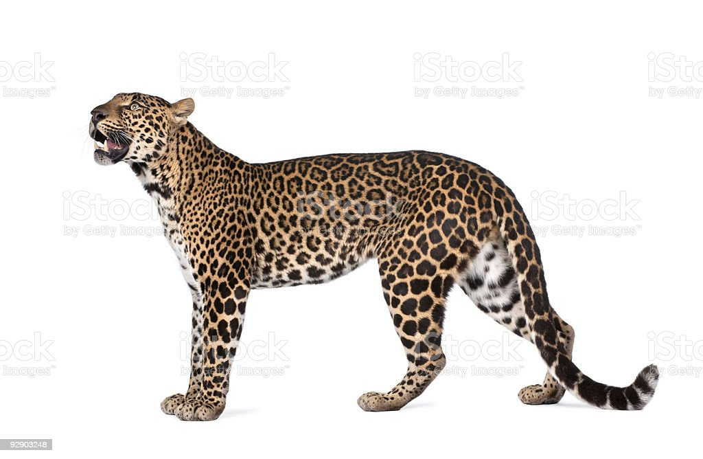 Side view of Jaguar growling on white background stock photo