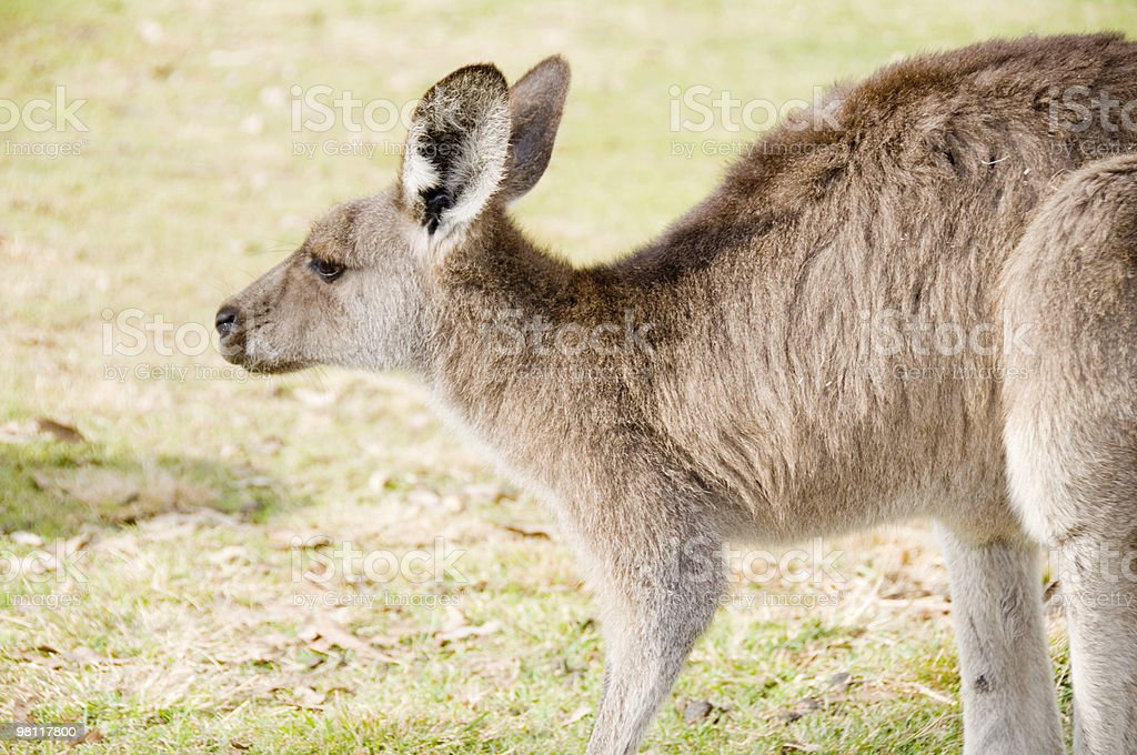 Side view of Kangaroo. royalty-free stock photo