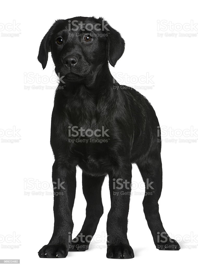 Side view of Labrador puppy standing and looking away royalty-free stock photo