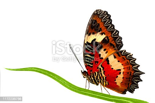 Side view of Leopard Lacewing butterfly sitting on grass leaf. Stock photo isolated on white background.