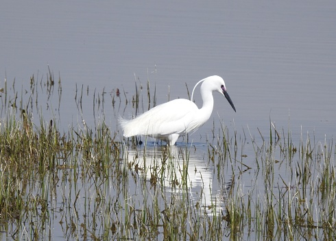 There is a reflection of its body in the water.  It is facing towards the right.