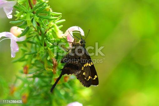 Long-Tailed skipper on Etoniah Rosemary, an endangered species endemic to Putnam county, Florida . Photo taken at Etoniah Creek state forest in central Florida. Nikon D750 with Nikon 200mm macro lens.