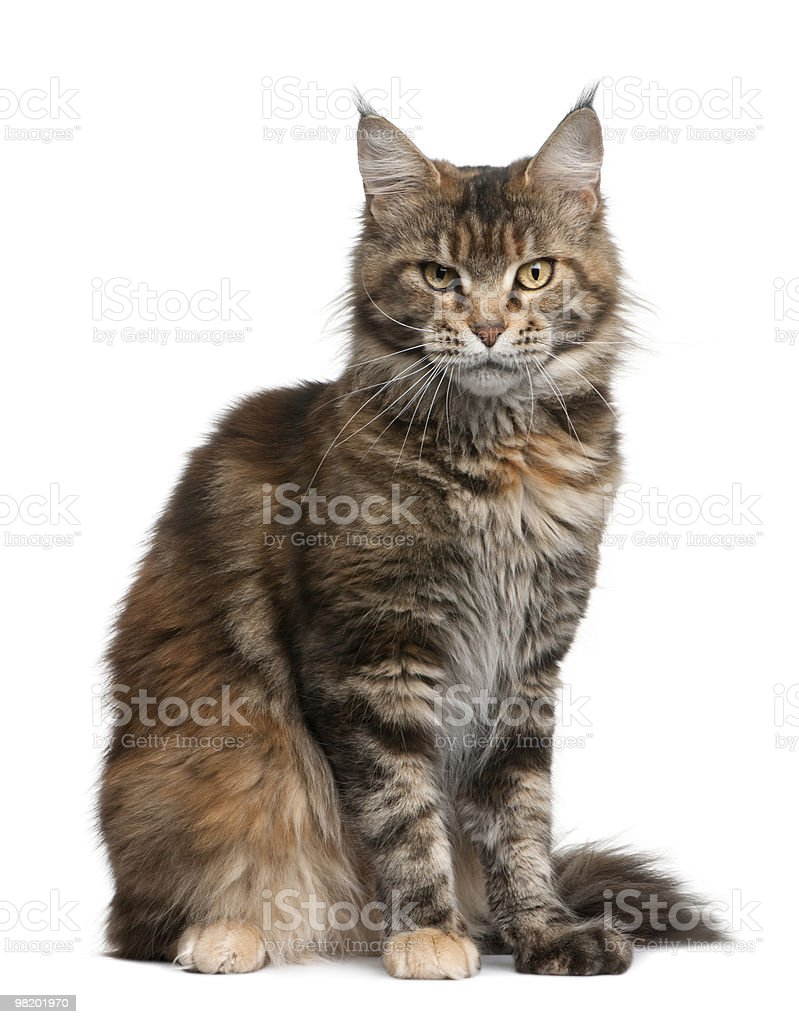 Side view of Maine coon cat, sitting. royalty-free stock photo