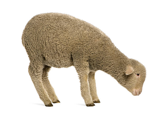 Top 60 Sheep Profile Stock Photos, Pictures, and Images ...