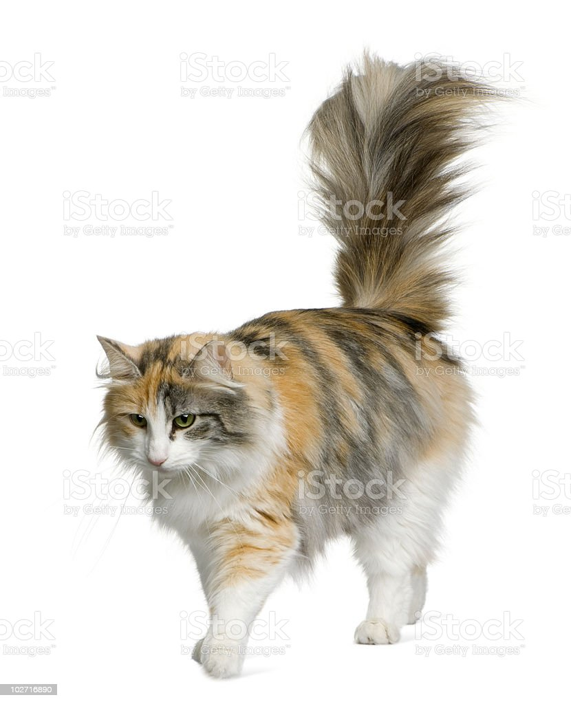 Side view of Norwegian Forest Cat, walking and looking down stock photo