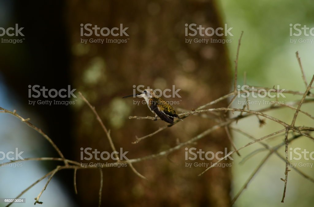 Side view of perching Hummingbird with iridescent gold colors royalty free stockfoto