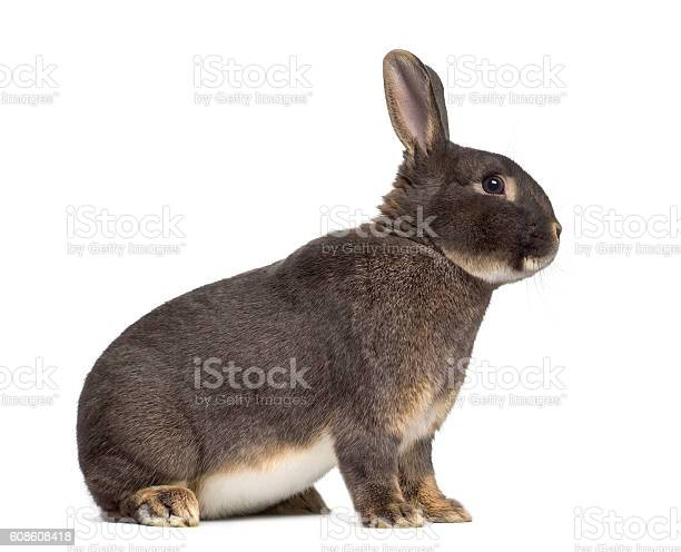 Side view of perle fe rabbit isolated on white picture id608608418?b=1&k=6&m=608608418&s=612x612&h=ffy3awddlt3kq2f ns7g3asbavyu5egb8a0yksxnba0=