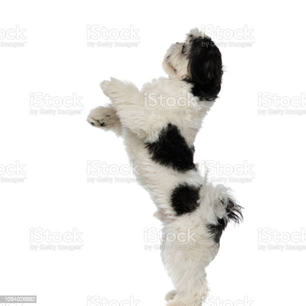 Side view of playful shih tzu standing on two legs picture id1094026882?b=1&k=6&m=1094026882&s=612x612&h=urxw6xlpwkik04igap4elp1nto vdcpozucrxtdnywi=
