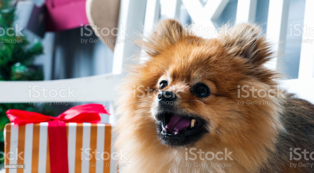 Side view of pomeranian spitz. Dog is laying with open mouth with...