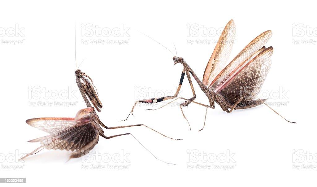 Side view of Praying mantis stock photo