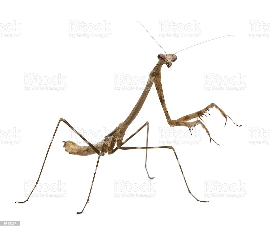Side view of Praying mantis (Euchomenella sp) standing royalty-free stock photo