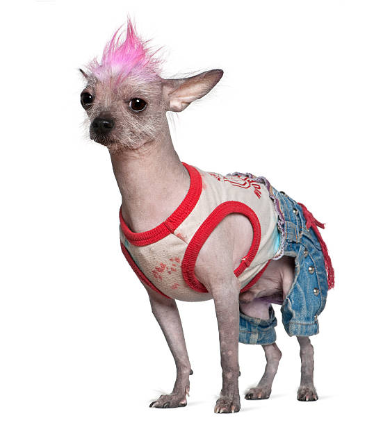 side view of punk dressed chinese crested dog, standing. - punk music stock photos and pictures
