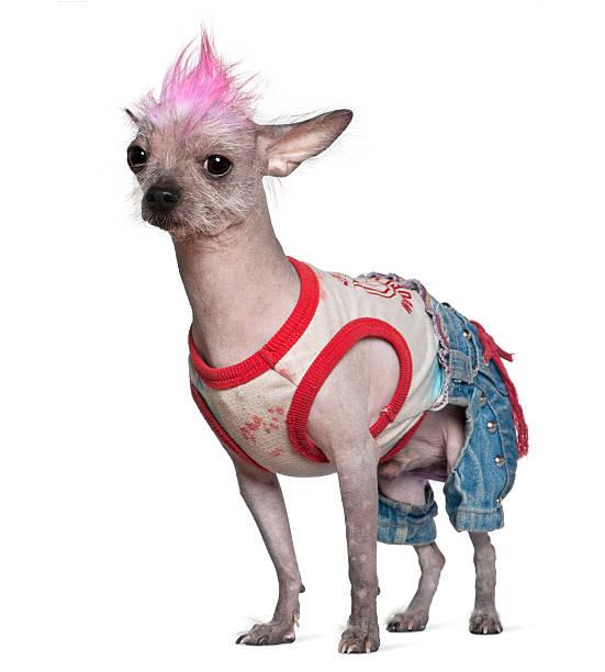 seitenansicht des punk angezogen chinesischer schopfhund, stehen. - chinesische schopfhunde stock-fotos und bilder