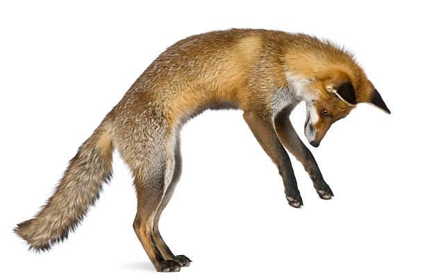 Vista lateral de Red Fox encuentra en las patas traseras. - foto de stock