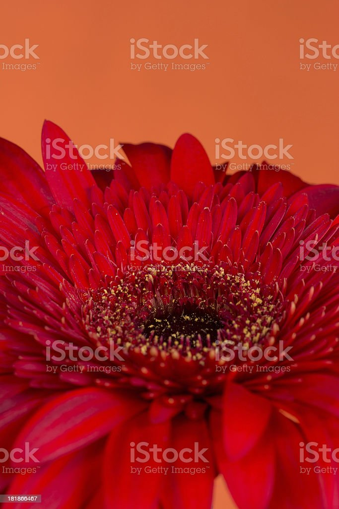 Side view of red Gerbera Daisy on orange. royalty-free stock photo