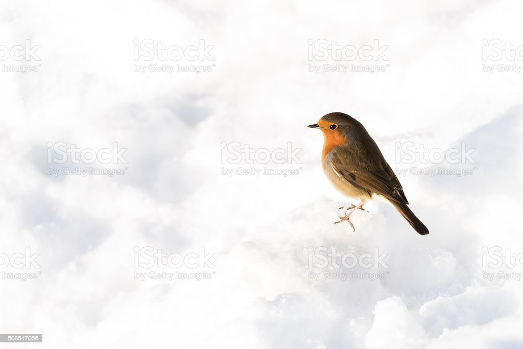 Side view of robin standing on snow in winter stock photo