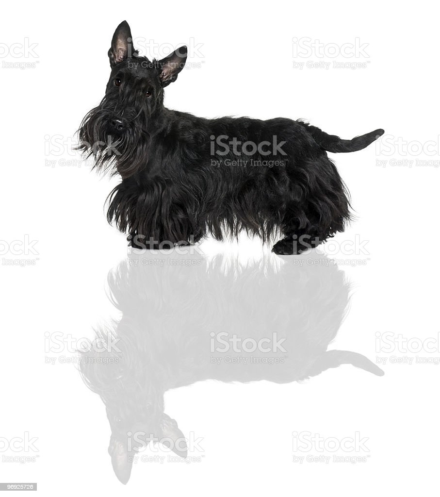 Side view of Schnauzer Terrier standing royalty-free stock photo