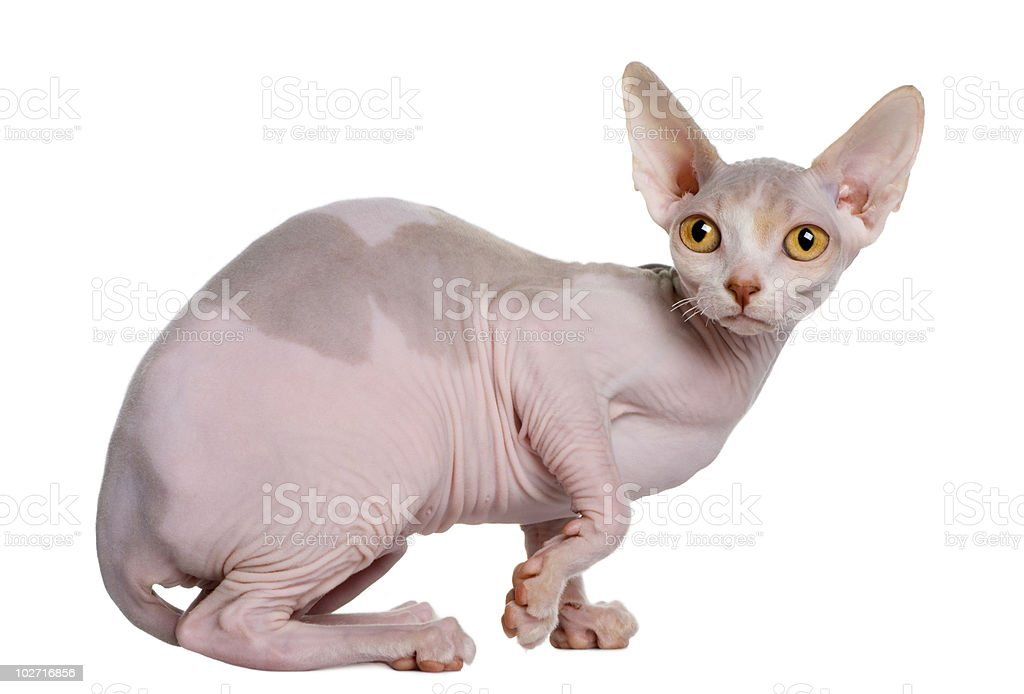 Side view of Sphynx kitten sitting, looking at the camera stock photo
