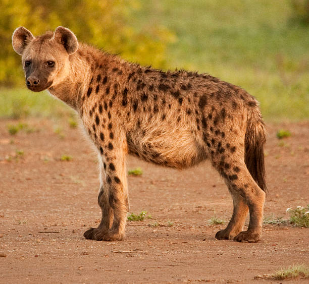 side view of spotted hyena in its natural surroundings backlit - hyena stockfoto's en -beelden