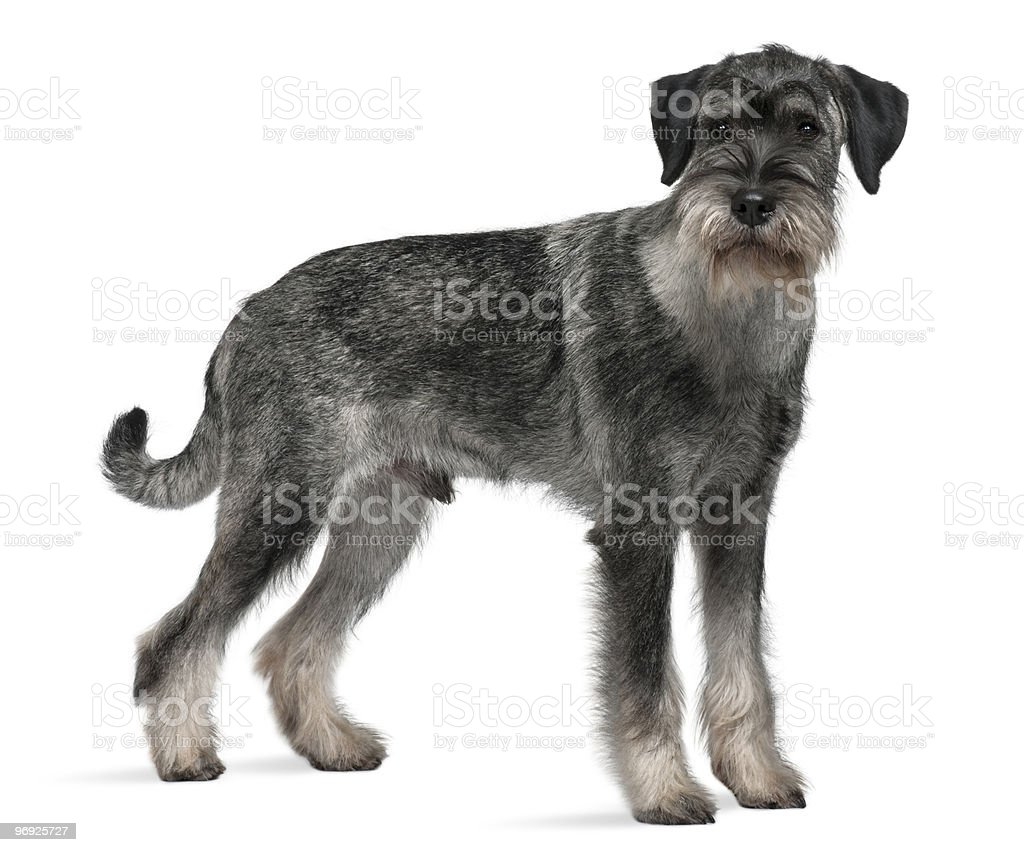 Side view of Standard Schnauzer looking at the camera royalty-free stock photo