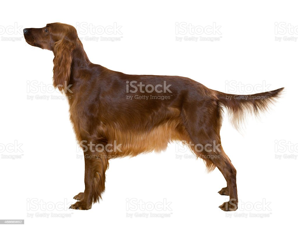 Side view of Standing female red irish Setter stock photo