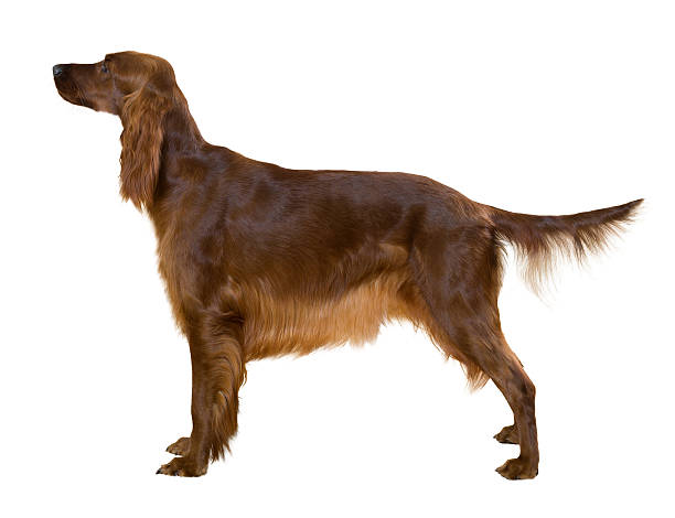Side view of Standing female red irish Setter Side view of Standing female red irish Setter, isolated on white irish setter stock pictures, royalty-free photos & images