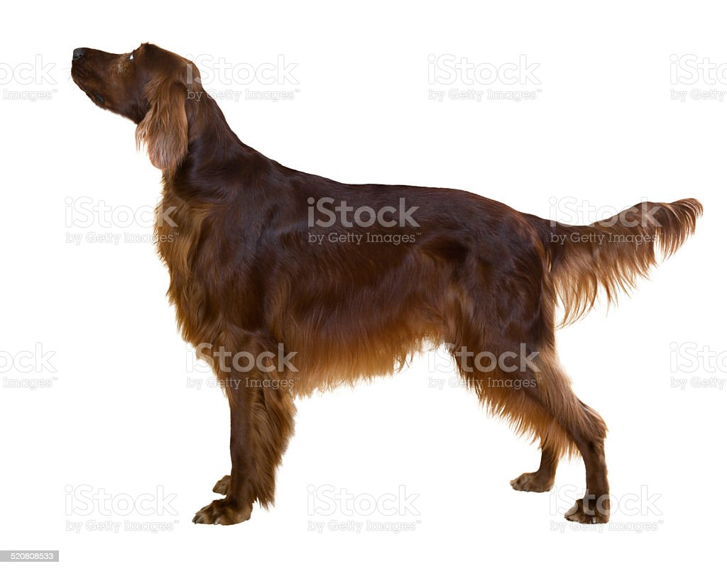 Side view of standing male red irish Setter stock photo