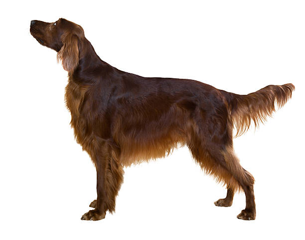 Side view of standing male red irish Setter Side view of standing male red irish Setter, isolated on white irish setter stock pictures, royalty-free photos & images