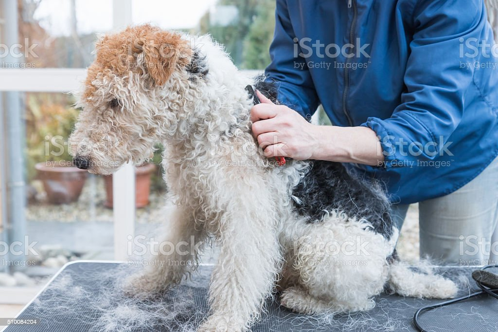 Side view of trimming of the Fox Terrier. Horizontally stock photo