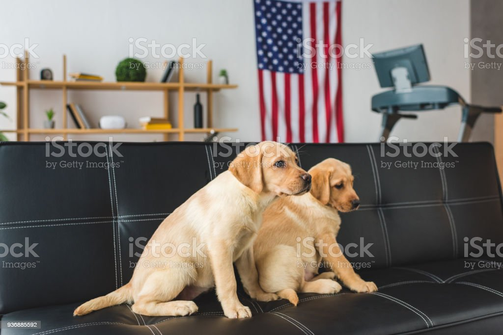 Side view of two beige puppies sitting on leather couch stock photo