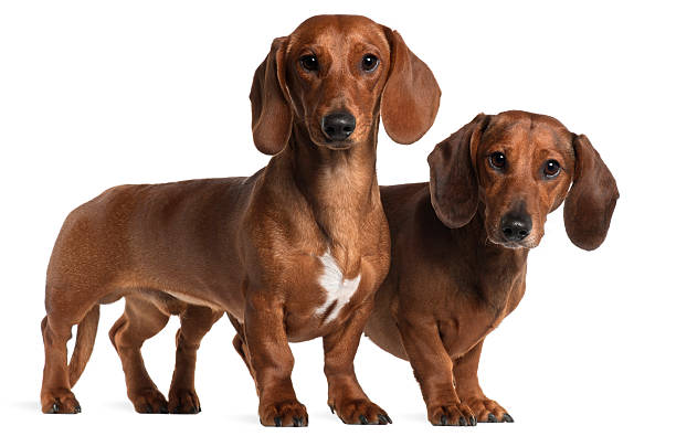 Side view of two Dachshunds, standing, white background. stock photo