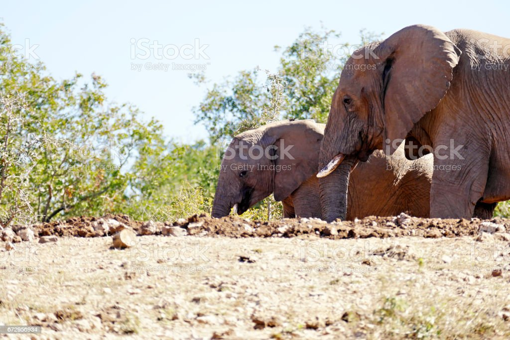 Side view of two elephants in the Madikwe Game Reserve in South Africa stock photo