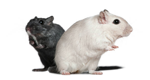 Side view of Two Gerbils, standing and looking away. stock photo