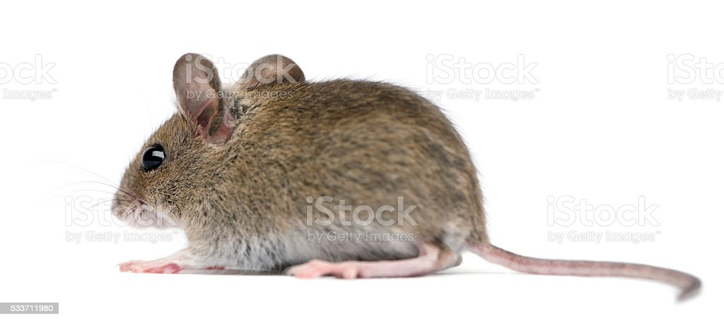Side view of Wood mouse in front of white background stock photo