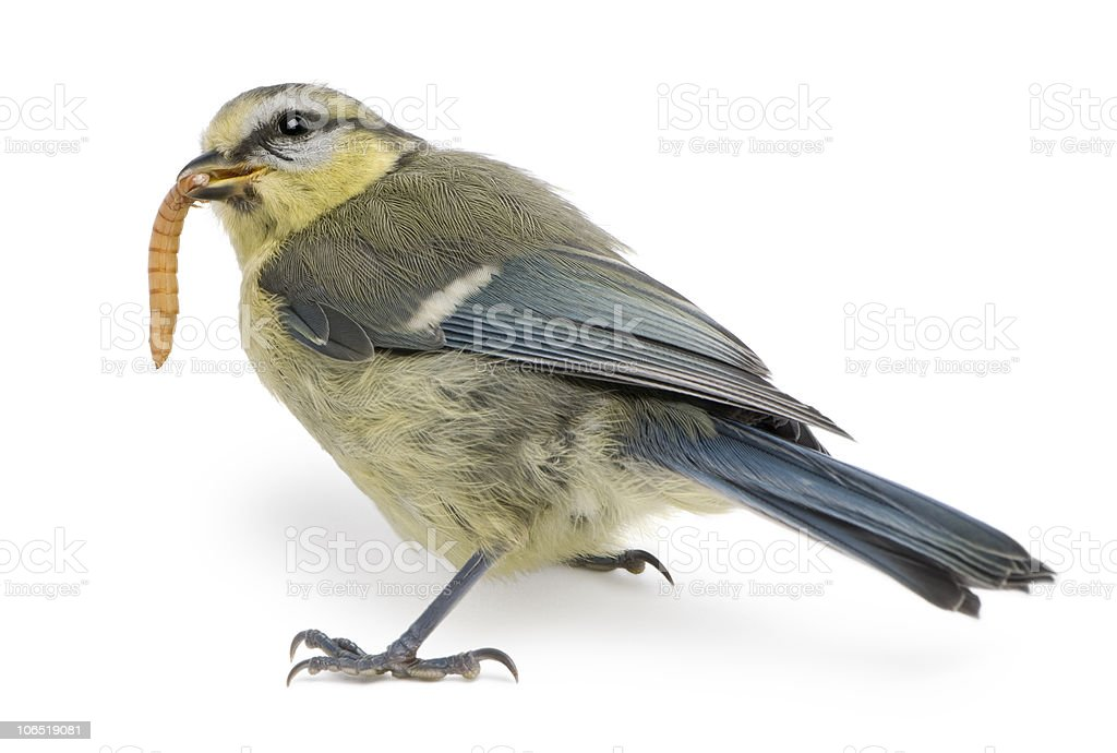 Side view of Young Blue Tit, eating worm. stock photo