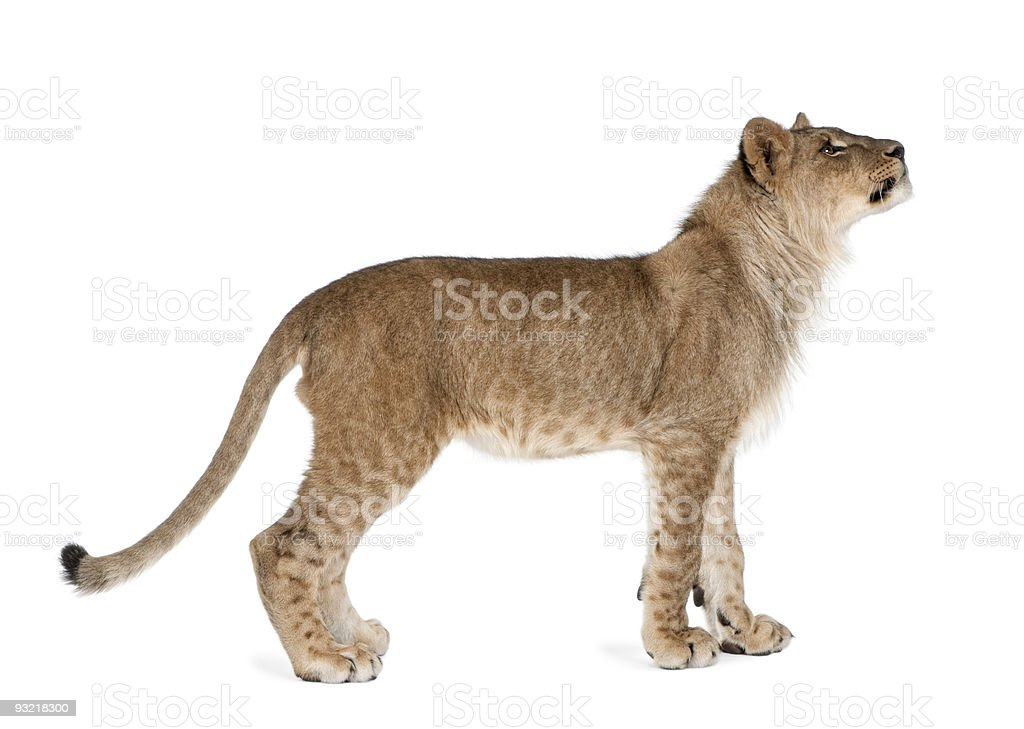 Side view of young lion cub standing against white background royalty-free stock photo