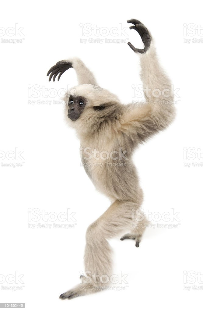 Side view of Young Pileated Gibbon, walking with arms up. stock photo