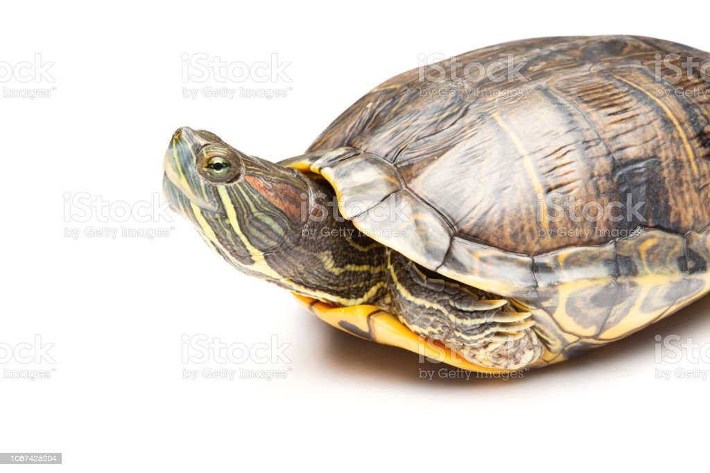 Side View Pet Turtle Redeared Slider Or Trachemys Scripta Elegans On White Background Stock Photo Download Image Now Istock