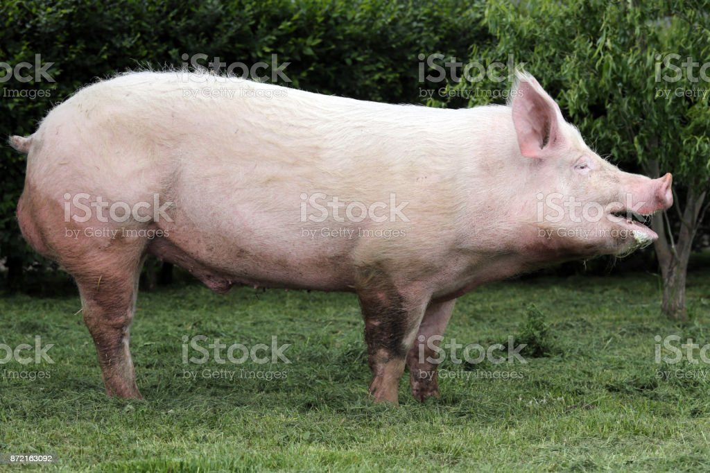 Side view photo of a young domestic pig sow on animal farm summertime stock photo